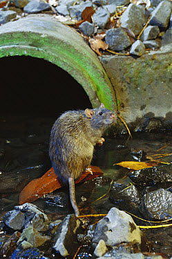 Brown Rat (Rattus norvegicus) at waste water outlet, common pest species native to Europe, introduced worldwide  -  Michael Durham