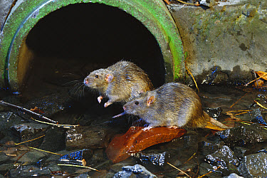 Brown Rat (Rattus norvegicus) pair at waste water outlet, common pest species native to Europe, introduced worldwide  -  Michael Durham