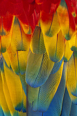 Scarlet Macaw (Ara macao) close-up of colorful feathers  -  Michael Durham