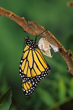 Monarch (Danaus plexippus) butterfly, emerging from chrysalis, North America  -  Michael Durham