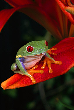 Red-eyed Tree Frog (Agalychnis callidryas) on flower petal, native to Central and South America  -  Michael Durham
