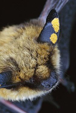 Western Long-eared Myotis (Myotis evotis) bat, adult with ear mites, Deschutes National Forest, Oregon  -  Michael Durham