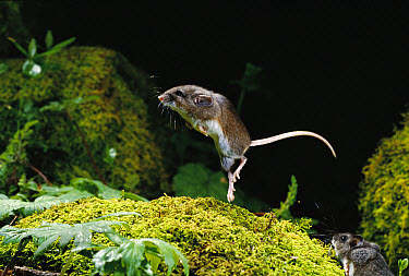 Deer Mouse (Peromyscus maniculatus) jumping as an evasive behavior, Forest Park, Oregon  -  Michael Durham