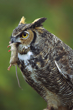 Great Horned Owl (Bubo virginianus) with House Mouse (Mus musculus) prey, North America  -  Michael Durham