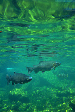 Rainbow Trout (Oncorhynchus mykiss) swimming underwater, North America  -  Michael Durham