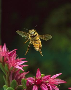 Honey Bee (Apis mellifera) flying hovering over pink flowers, Sauvie Island, Oregon  -  Michael Durham