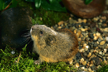 Brown Lemming (Lemmus sibiricus) occurs across upper latitudes of the Nearctic and Palearctic zones  -  Michael Durham