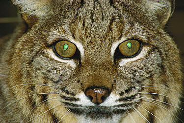 Bobcat (Lynx rufus) close-up portrait showing reflective green tapetum lucidum in eyes, Oregon  -  Michael Durham