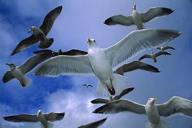 Western Gull (Larus occidentalis) flock flying over the Oregon coast  -  Michael Durham