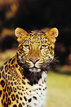 Amur Leopard (Panthera pardus orientalis) portrait, native to the Amur River Valley, Siberia, Manchuria and Korea  -  Michael Durham