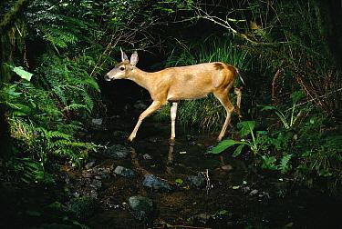 Mule Deer (Odocoileus hemionus) crossing stream at night shot with remote camera, de-commissioned army Camp Bonneville, Washington  -  Michael Durham