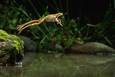 Pacific Chorus Frog (Pseudacris regilla) jumping into pond, Oregon  -  Michael Durham
