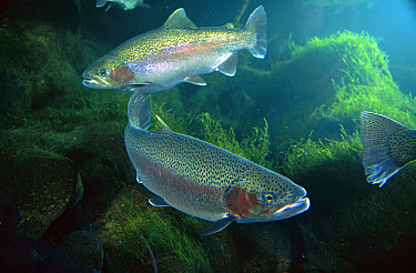 Rainbow Trout (Oncorhynchus mykiss) pair underwater in Utah, a popular game fish native to coastal streams of the western US and introduced into the eastern US and worldwide  -  Michael Durham