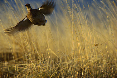 Columbia Sharp-tailed Grouse (Tympanuchus phasianellus columbianus) erupting into flight from tallgrass, Zumwalt Prairie Preserve, northeast Oregon  -  Michael Durham
