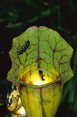 Venosa Pitcher Plant (Sarracenia purpurea venosa) with ants on edge of pitcher, an insectivorous plant native to swampy bogs of the southeastern US  -  Michael Durham