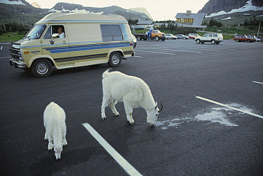 Mountain Goat (Oreamnos americanus) adult and kid licking anti-freeze that has leaked from tourist vehicles, the liquid tastes sweet but is poisonous, Glacier National Park, Montana  -  Michael Durham