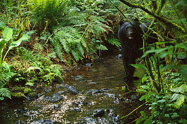 Black Bear (Ursus americanus) wading through a shallow stream, shot with a remote camera, de-commissioned army camp in Bonneville, Washington  -  Michael Durham