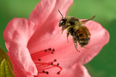 Bumblebee (Bombus huntii) flying toward a Rhododendron flower, northeast Oregon  -  Michael Durham