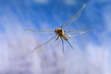 Spiny Baskettail (Epitheca spinigera) dragonfly female flying, coastal mountain near Florence, Oregon  -  Michael Durham