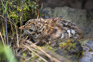 Blue Grouse (Dendragapus obscurus) newly hatched chick, hiding in rock scree, northeast Oregon  -  Michael Durham