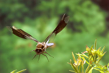 Common Whitetail (Libellula lydia) male flying, photographed with a high-speed camera system in the coastal mountains of Oregon, near Florence, Oregon  -  Michael Durham