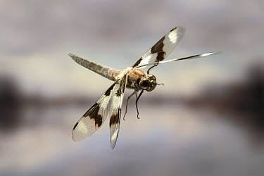 Eight-spotted Skimmer (Libellula forensis) dragonfly male flying, photographed with a high-speed camera system in the coastal mountains of Oregon, near Florence  -  Michael Durham