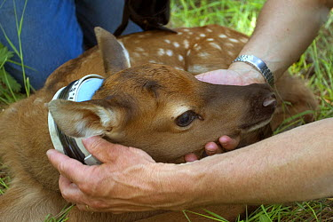 American Elk (Cervus elaphus nelsoni) two day old calf is outfitted with a radio collar by biologist Scott Findholdt with the Oregon Department of Fish and Wildlife, Sled Springs Study Area, northeast...  -  Michael Durham