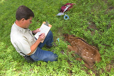 Oregon Division of Fish and Wildlife biologist Pat Matthews collects data on a newborn Elk (Cervus elaphus) calf in the Sled Springs Elk Study Area, the calf will be radio collared so that its movemen...  -  Michael Durham