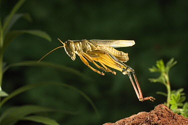 Two-striped Grasshopper (Melanoplus bivittatus) adult female jumping, Deschutes National Forest, Oregon  -  Michael Durham