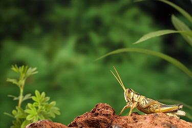 Two-striped Grasshopper (Melanoplus bivittatus) adult female just before she jumps, Deschutes National Forest, Oregon  -  Michael Durham