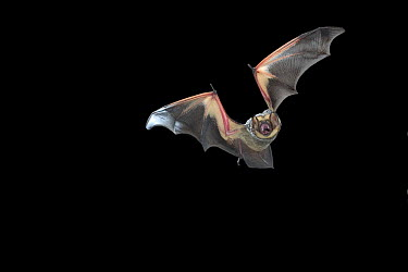 Hoary Bat (Lasiurus cinereus) male flying at night, near pine creek in the John Day Fossil Beds National Monument, Clarno Unit, Oregon  -  Michael Durham