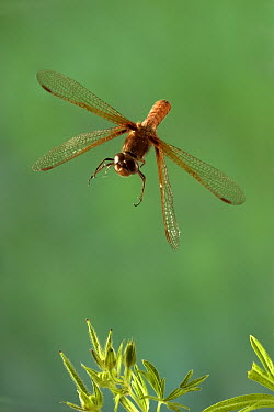 Red-veined Meadowhawk (Sympetrum madidum) male flying in the coastal mountains of Oregon  -  Michael Durham