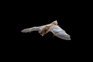Silver-haired Bat (Lasionycteris noctivagans) flying streamside of Drake Creek in the high desert of Lake County, central Oregon  -  Michael Durham