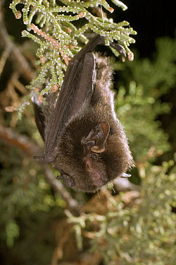 Silver-haired Bat (Lasionycteris noctivagans) roosting in Juniper tree near Drake Creek in Lake County, Oregon  -  Michael Durham