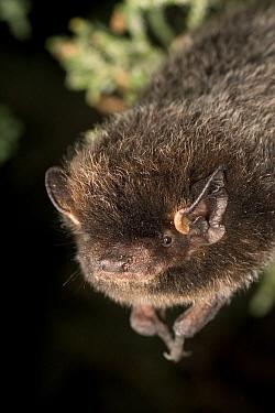 Silver-haired Bat (Lasionycteris noctivagans) roosting in Juniper tree near Drake Creek in Lake County, Oregon  -  Michael Durham