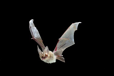 Townsend's Big-eared Bat (Corynorhinus townsendii) flying at night, John Day Fossil Beds National Monument, Clarno Unit, Oregon  -  Michael Durham