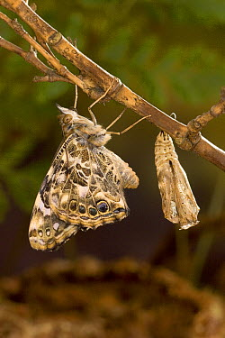 Painted Lady (Vanessa cardui) butterfly freshly emerged from its chrysalis drying its wings, North America. Sequence 11 of 12  -  Michael Durham