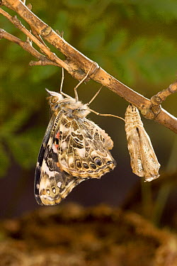 Painted Lady (Vanessa cardui) butterfly freshly emerged from its chrysalis drying its wings, North America. Sequence 12 of 12  -  Michael Durham