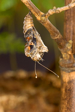 Painted Lady (Vanessa cardui) butterfly, emerging from its chrysalis, North America. Sequence 6 of 12  -  Michael Durham