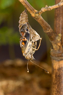 Painted Lady (Vanessa cardui) butterfly, emerging from its chrysalis, North America. Sequence 7 of 12  -  Michael Durham