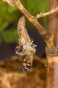 Painted Lady (Vanessa cardui) butterfly, emerging from its chrysalis, North America. Sequence 8 of 12  -  Michael Durham