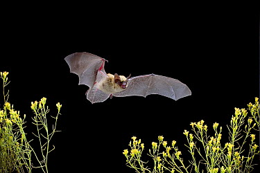 Western Pipistrelle (Pipistrellus hesperus) bat flying over desert scrub, near Pine Creek in the John Day Fossil Beds National Monument, Clarno Unit, Oregon, this is the smallest bat found north of Me...  -  Michael Durham