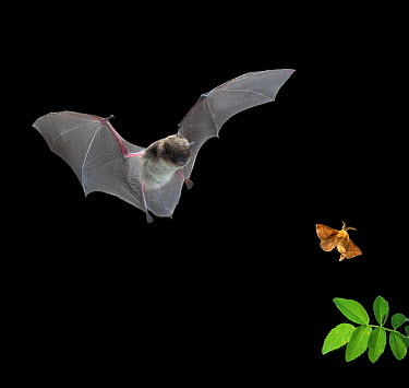 Yuma Myotis (Myotis yumanensis) bat, male capturing a forest moth, Oregon  -  Michael Durham