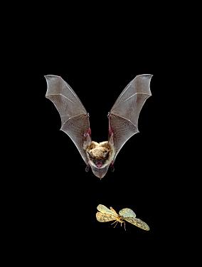 Yuma Myotis (Myotis yumanensis) bat, female pursuing a moth on the wing, Oregon  -  Michael Durham