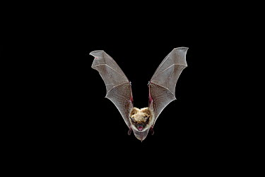 Yuma Myotis (Myotis yumanensis) bat, female flying, Drake Creek, Lake County, Oregon  -  Michael Durham