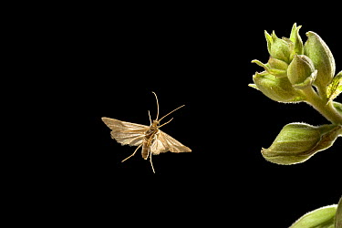 Miniature Moth, took his own photograph when it flew through the high-speed camera trigger on a warm night in the coastal mountains of Oregon  -  Michael Durham