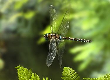 California Darner (Rhionaeschna californica) dragonfly, photographed with a high-speed camera, coastal mountains, Oregon  -  Michael Durham