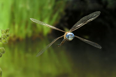 Blue-eyed Darner (Rhionaeschna multicolor) dragonfly, flying in the coastal mountains of Oregon  -  Michael Durham