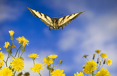 Western Tiger Swallowtail (Papilio rutulus) butterfly, flying over Smooth Hawksbeard flowers (Crepis capillaris), Oregon  -  Michael Durham