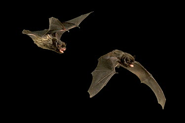Silver-haired Bat (Lasionycteris noctivagans) illustrating wing movement during flight, Rogue River National Forest, Oregon, digital composite  -  Michael Durham